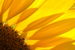 Sunflower detail Stock Photography