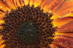 Sunflower detail Royalty Free Stock Photos