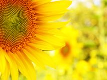 Sunflower detail abstract background royalty free stock photography