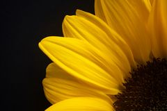 Sunflower detail against a black background Royalty Free Stock Photography