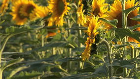 Sunflower Detail from Agricultural Field stock video