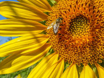 Sunflower detail background and bee,summer season specific Stock Photos