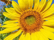 Sunflower detail background,summer season specific Royalty Free Stock Images