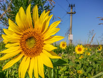 Sunflower detail background,summer season specific Stock Photo