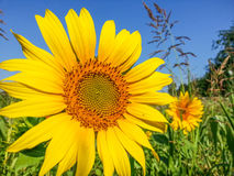 Sunflower detail background,summer season specific Stock Photography