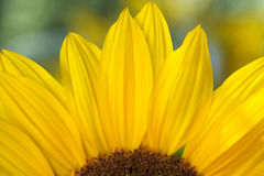 Sunflower detail Royalty Free Stock Images