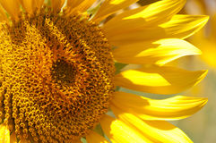 Sunflower detail. Close up Royalty Free Stock Photography