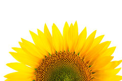 Sunflower detail, isolated on white Stock Images