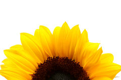 Sunflower detail over white Royalty Free Stock Image