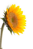 Sunflower with dew Royalty Free Stock Images