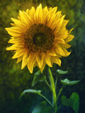 Sunflower - Digital Painting. Digital painting of a large yellow sunflower Royalty Free Stock Images