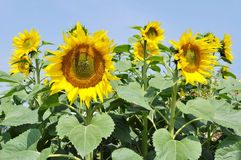 Sunflower directions Royalty Free Stock Photography