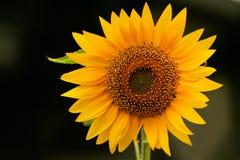 Sunflower disambiguation genus Helianthus. Bright Yellow sunflower with blurred backround Royalty Free Stock Image