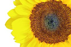 Sunflower disk florets. Head of a sunflower, isolated on white background, closeup details of its disk florets Stock Photography