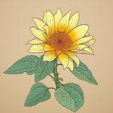 Sunflower drawing Royalty Free Stock Image