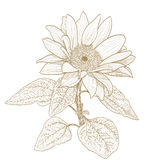 Sunflower drawing. monochrome version on white Royalty Free Stock Images