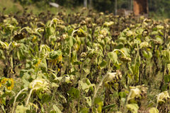 The sunflower droop. The sunflower dry at  gardent Stock Image