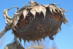 The sunflower droop. In the field Stock Photography