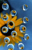 Sunflower in drops 2. Sunflower reflection in glycerin drops Royalty Free Stock Photo