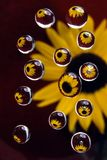 Sunflower in drops 4. Sunflower in drops on a dark red background Stock Image