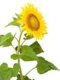 Sunflower with drops of water Royalty Free Stock Images