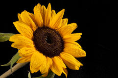 Sunflower with drops of water on black background Stock Photography