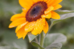 Sunflower with Drops of Water Stock Image