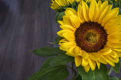Sunflower with drops of water on the petals Stock Photography