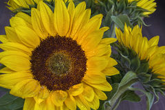 Sunflower with drops of water on the petals Royalty Free Stock Photography