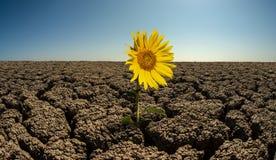 Sunflower on droughty desert stock image