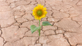 Sunflower on dry cracked earth yellow flower. Sunflower on dry cracked earth royalty free stock photo