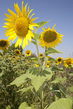 Sunflower Duo. Sunflower plants in the field Royalty Free Stock Image