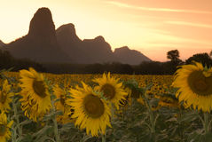 Sunflower at dusk 1. Stock Images