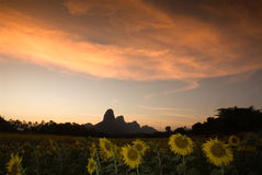 Sunflower at dusk . Royalty Free Stock Images
