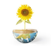 Sunflower and Earth Royalty Free Stock Photography