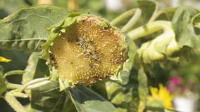 Sunflower eaten by birds on the field stock video footage