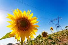 Sunflower and Electric Power Stock Photo