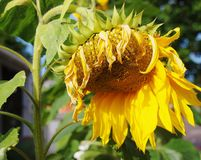 A sunflower at the end of season. A sunflower droops at the end of its season, but still retains a sense of strength, magnificence and former glory Stock Photography