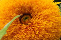 Sunflower. Enjoy every moment of your life Stock Photo