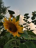 Sunflower epic. Sunset is coming soon where will you be? Stay positive keep your head held high. Trust Stock Images