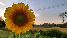 Sunflower in the evening Stock Photo