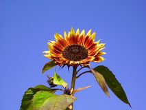Sunflower Evening Sun Stock Image