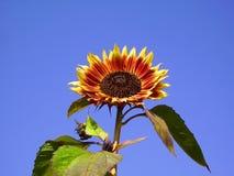 Sunflower Evening Sun Stock Image