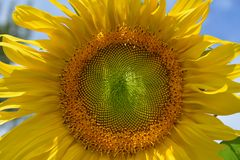 A sunflower explodes in yellow splendor. Royalty Free Stock Photo