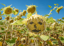 Sunflower Face. A sunflower field with one sunflower and a face on it Stock Photo