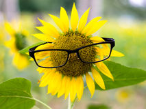 Sunflower face Royalty Free Stock Images
