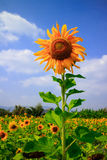 The sunflower royalty free stock images