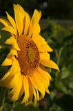 Sunflower face-to-face Royalty Free Stock Photography