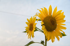 The sunflower face to sky. The sunflower with white backdrop Royalty Free Stock Image