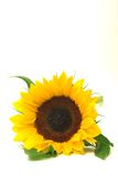 Sunflower facing forward Royalty Free Stock Images